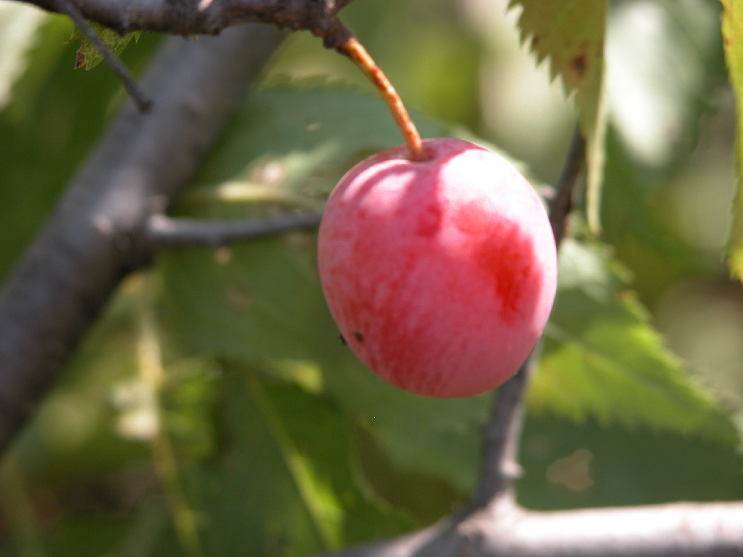 03_PLUM_FRUIT.JPG Image